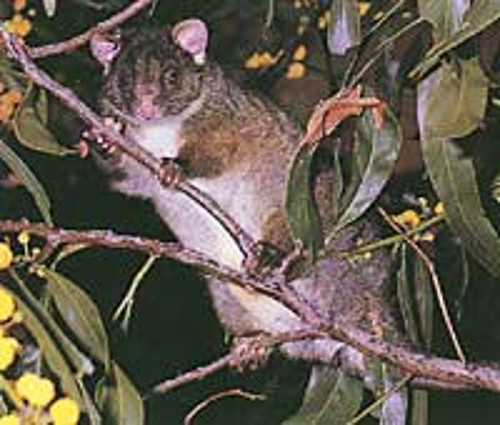Also critically endangered, the Western Ringtail Possum.